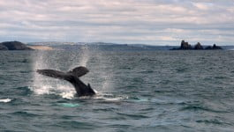 Whalewatching Humpback whales West Cork
