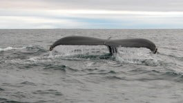 A humpback whale encountered on a West Cork whale watching trip on the Holly Jo