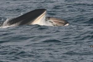 Feeding fin whale