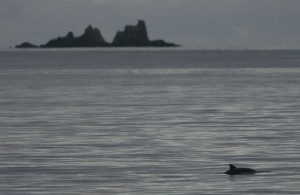 Harbour porpoise in front of The Stags, West Cork